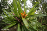 Bromeliad [costa_rica_la_selva_0897]