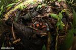 Red cup mushroom [costa_rica_la_selva_0906]