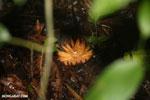 Rainforest seed pod [costa_rica_la_selva_0907]