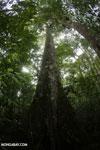 Rainforest tree [costa_rica_la_selva_0916]