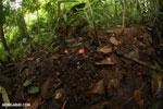 Red cup mushroom [costa_rica_la_selva_0920]