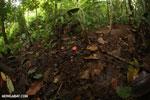 Red cup mushroom [costa_rica_la_selva_0921]