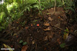 Red cup mushroom [costa_rica_la_selva_0922]