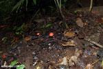 Red cup mushroom [costa_rica_la_selva_0923]