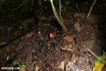 Red cup mushroom [costa_rica_la_selva_0925]