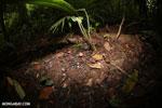 Red cup mushroom [costa_rica_la_selva_0926]