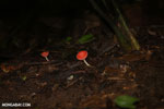 Red cup mushroom [costa_rica_la_selva_0934]