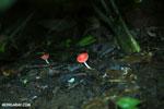 Red cup mushroom [costa_rica_la_selva_0936]