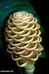 Yellow Heliconia maraca [costa_rica_la_selva_0941]