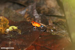 Strawberry poison-dart frog (Oophaga pumilio) [costa_rica_la_selva_0943]