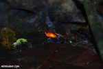 Strawberry poison-dart frog (Oophaga pumilio) [costa_rica_la_selva_0947]