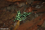 Green-and-black poison dart frogs fighting [costa_rica_la_selva_0953]