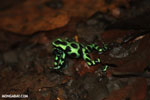 Green-and-black poison dart frogs fighting [costa_rica_la_selva_0957]