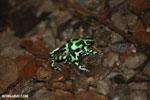 Green-and-black poison dart frogs fighting [costa_rica_la_selva_0962]