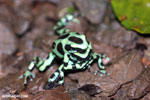 Green-and-black poison dart frogs fighting