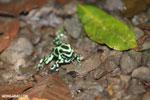 Green-and-black poison dart frogs fighting [costa_rica_la_selva_0976]