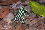 Green-and-black poison dart frogs fighting [costa_rica_la_selva_0977]