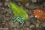 Green-and-black poison dart frogs fighting [costa_rica_la_selva_0985]