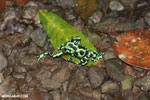 Green-and-black poison dart frogs fighting [costa_rica_la_selva_0987]