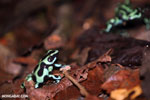 Green-and-black poison dart frogs fighting [costa_rica_la_selva_0993]