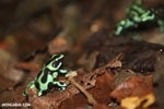 Green-and-black poison dart frogs fighting [costa_rica_la_selva_0994]