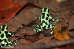 Green-and-black poison dart frogs fighting [costa_rica_la_selva_0995]