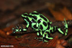 Green-and-black poison dart frogs fighting [costa_rica_la_selva_0998]