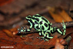 Green-and-black poison dart frogs fighting [costa_rica_la_selva_0999]