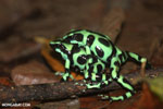 Green-and-black poison dart frogs fighting [costa_rica_la_selva_1003]