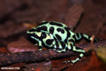 Green-and-black poison dart frogs fighting [costa_rica_la_selva_1004]