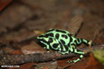 Green-and-black poison dart frogs fighting [costa_rica_la_selva_1005]