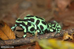 Green-and-black poison dart frogs fighting [costa_rica_la_selva_1007]