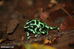 Green-and-black poison dart frogs fighting [costa_rica_la_selva_1008]