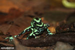 Green-and-black poison dart frogs fighting [costa_rica_la_selva_1009]