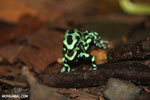 Green-and-black poison dart frogs fighting [costa_rica_la_selva_1010]