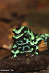 Green-and-black poison dart frogs fighting [costa_rica_la_selva_1011]