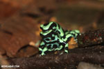 Green-and-black poison dart frogs fighting [costa_rica_la_selva_1012]