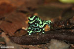 Green-and-black poison dart frogs fighting [costa_rica_la_selva_1014]