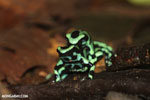 Green-and-black poison dart frogs fighting [costa_rica_la_selva_1015]