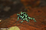 Green-and-black poison dart frogs fighting [costa_rica_la_selva_1016]