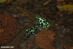 Green-and-black poison dart frogs fighting [costa_rica_la_selva_1017]