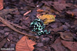 Green-and-black poison dart frogs fighting [costa_rica_la_selva_1024]