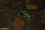 Green-and-black poison dart frogs fighting [costa_rica_la_selva_1028]