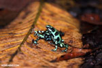 Green-and-black poison dart frogs fighting [costa_rica_la_selva_1032]