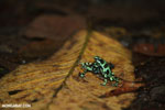 Green-and-black poison dart frogs fighting [costa_rica_la_selva_1033]