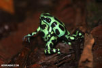 Green-and-black poison dart frogs fighting [costa_rica_la_selva_1039]