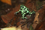 Green-and-black poison dart frogs fighting [costa_rica_la_selva_1040]
