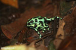 Green-and-black poison dart frogs fighting [costa_rica_la_selva_1041]