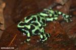 Green-and-black poison dart frogs fighting [costa_rica_la_selva_1044]