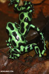 Green-and-black poison dart frogs fighting [costa_rica_la_selva_1047]